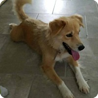 Collie/Retriever (Unknown Type) Mix Dog for adoption in Katy, Texas - CARLY-ANN
