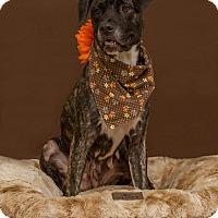 Adopt A Pet :: Pippa - Flint, MI