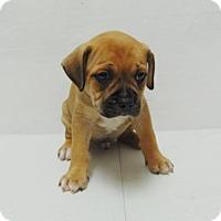 Adopt A Pet :: Kobie - Denver, CO