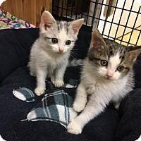 Adopt A Pet :: Tsar - Marco Island, FL