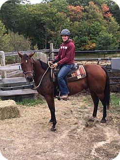 Quarterhorse for adoption in Methuen, Massachusetts - BUSTER