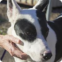Adopt A Pet :: Madonna - Plano, TX
