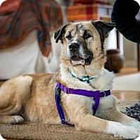 Adopt A Pet :: Miley - Boulder, CO