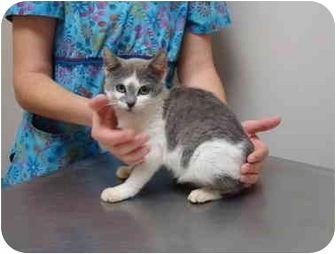 Domestic Shorthair Cat for adoption in North Wilkesboro, North Carolina - Penny