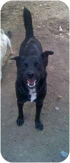Labrador Retriever/Husky Mix Dog for adoption in Baton Rouge, Louisiana - Tuck