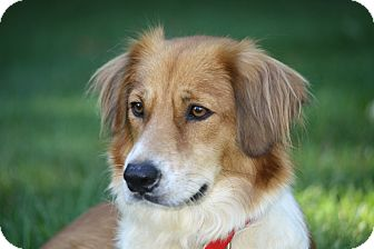 Tootsie Hold Adopted Dog West Milford Nj Golden Retriever Border Collie Mix