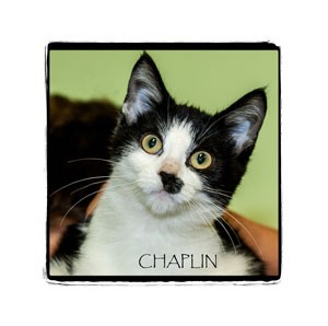 Domestic Shorthair Kitten for adoption in Warren, Pennsylvania - Chaplin