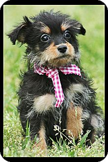 Yorkie, Yorkshire Terrier/Miniature Pinscher Mix Puppy for adoption in Cranford, New Jersey - Sabra