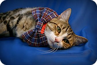 Domestic Shorthair Cat for adoption in Green Bay, Wisconsin - Fabio