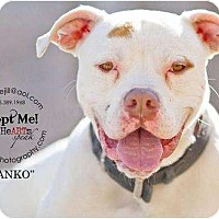 Adopt A Pet :: Danko - Accord, NY