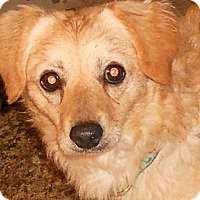 Adopt A Pet :: Spaniel Mix - Aloha, OR