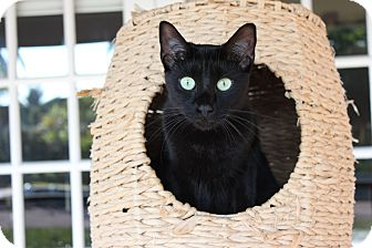 Domestic Shorthair Cat for adoption in Homestead, Florida - Milo (Fran)