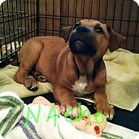 Adopt A Pet :: Nacho - Richmond, VA