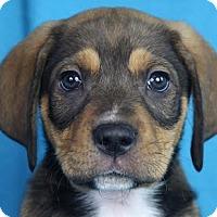 Adopt A Pet :: Magnus - Minneapolis, MN
