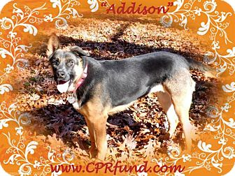 German Shepherd Dog Dog for adoption in Lowell, Indiana - Addison