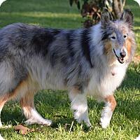Adopt A Pet :: Greyling - Sugar Land, TX