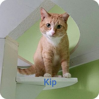 Domestic Shorthair Cat for adoption in Muskegon, Michigan - kip