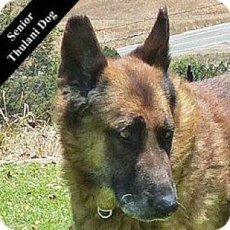 German Shepherd Dog Mix Dog for adoption in Cupertino, California - Sanders T.