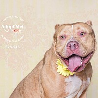 Pit Bull Terrier/Mastiff Mix Dog for adoption in Vancouver, Texas - Amani