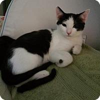 Adopt A Pet :: Domino - McKinney, TX