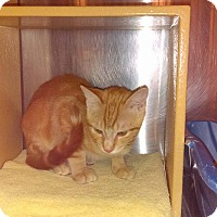 Domestic Shorthair Kitten for adoption in Lancaster, California - Nibs
