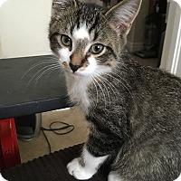 Adopt A Pet :: Atticus - St. Louis, MO