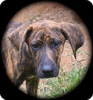 Plott Hound/Redbone Coonhound Mix Puppy for adoption in Ijamsville, Maryland - Laredo