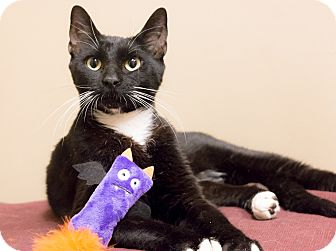 Domestic Shorthair Cat for adoption in Chicago, Illinois - Foo