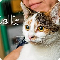Adopt A Pet :: Callie - Somerset, PA