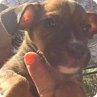 Adopt A Pet :: Chris - Smithtown, NY