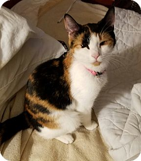 Calico Cat for adoption in Flemington, New Jersey - Biscuit