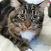 Maine Coon Cat for adoption in Modesto, California - Harlow