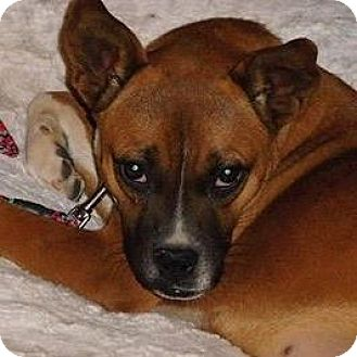 Boxer Mix Dog for adoption in Denver, Colorado - Summer