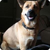 Shepherd (Unknown Type)/Labrador Retriever Mix Dog for adoption in Lexington, Kentucky - Clyde