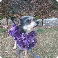 Adopt A Pet :: Sasha - Mahopac, NY