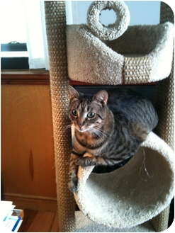 American Shorthair Cat for adoption in Brooklyn, New York - Chloe