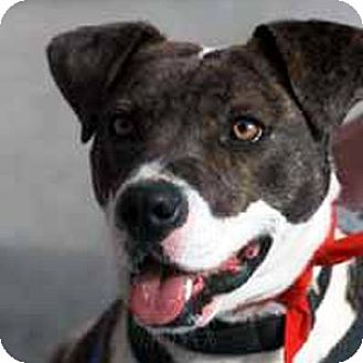 Hound (Unknown Type)/American Bulldog Mix Dog for adoption in Potomac, Maryland - Ellie May