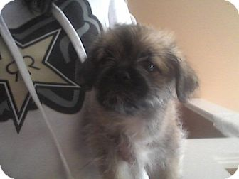 brussels griffon shih tzu mix bronx adopted puppy algonquin il brussels griffon 8137