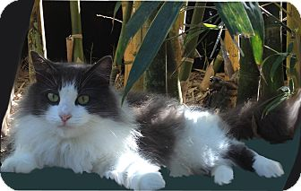 Domestic Longhair Cat for adoption in Bonita Springs, Florida - Emily