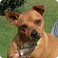 Adopt A Pet :: Chip - Catharpin, VA