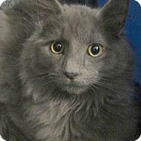 Adopt A Pet :: Thor - Arlington, VA