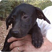 Adopt A Pet :: Becky - Allentown, PA
