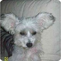 Yorkie, Yorkshire Terrier/Chinese Crested Mix Dog for adoption in Foster, Rhode Island - Gia
