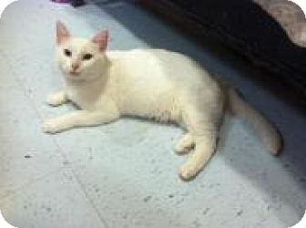 Turkish Van Cat for adoption in Herndon, Virginia - Natalie