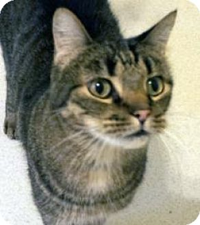 Domestic Shorthair Cat for adoption in Mountain Center, California - Tobias