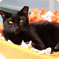 Domestic Shorthair Cat for adoption in Sarasota, Florida - Marcus