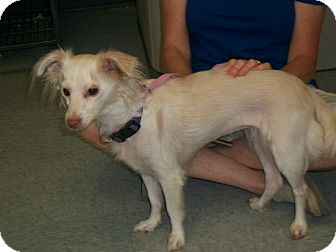 Pomeranian/Terrier (Unknown Type, Small) Mix Dog for adoption in Martinsville, Indiana - Lmay