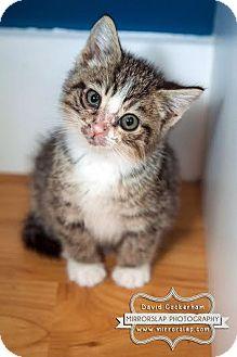 Domestic Shorthair Kitten for adoption in Westminster, Maryland - KITTIES