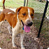Treeing Walker Coonhound Dog for adoption in Tavares, Florida - TEDDY