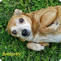 Adopt A Pet :: Bridgette - Durham, NC